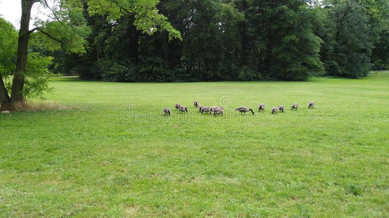 Geese royalty free stock photos