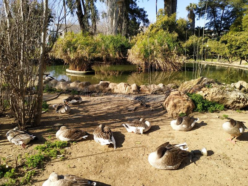 Geese in the morning sun in a zoo. In Ayamonte, province of Huelva, Spain, Andalucia stock photography