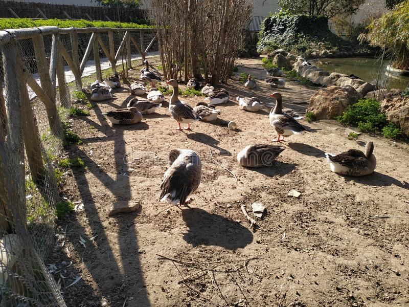 Geese in the morning sun in a zoo. In Ayamonte, province of Huelva, Spain, Andalucia stock image
