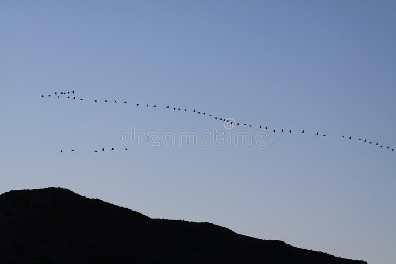 Geese over Dark Hills. The silhouette of a large flock of migratory geese flying together over distant hills in the early morning light royalty free stock image