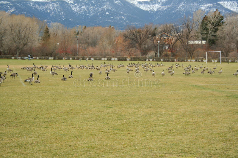 Geese over populating a soccer field royalty free stock photography