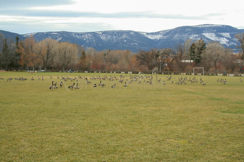 Geese over taking a large soccer field stock images