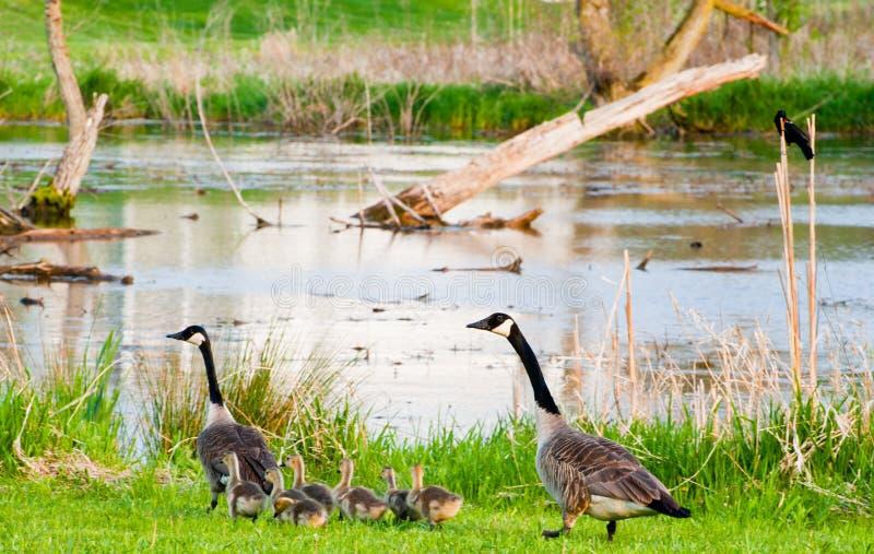 Geese Parents Royalty Free Stock Photos