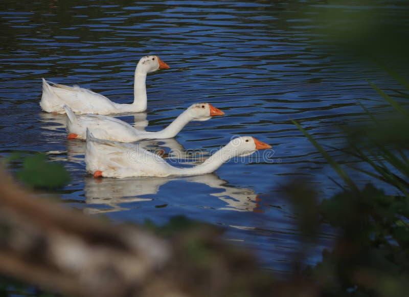 Goose; goosey; goosie royalty free stock photo