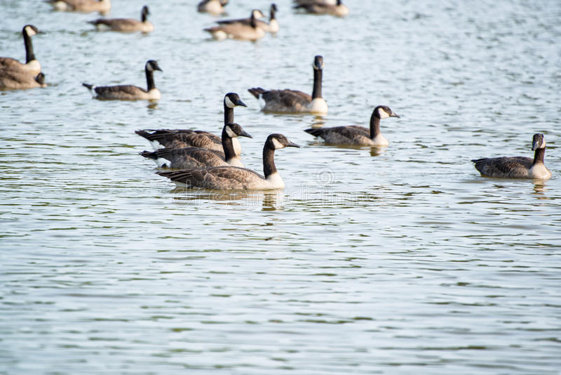 Geese on Pond. Geese swimming in a pond royalty free stock image