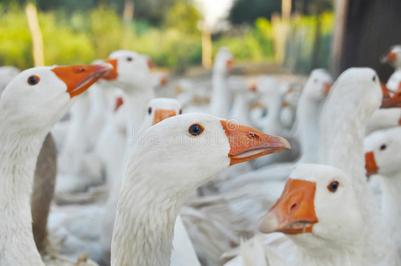 Geese poultry royalty free stock photos