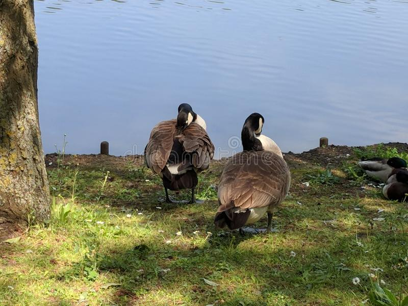 2 Geese preening in front of the lake at Bluewater. 2 geese preening and two ducks sleeping in front of the lake at Bluewater Nature Walk at midday on a summers royalty free stock photos