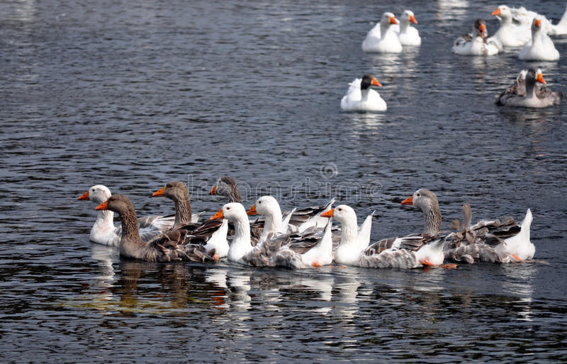Geese in Romania royalty free stock photo