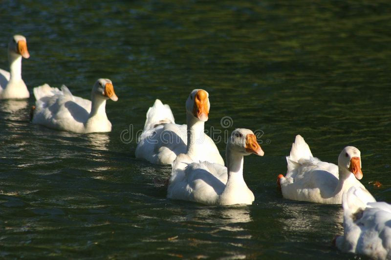 Geese in a row royalty free stock images