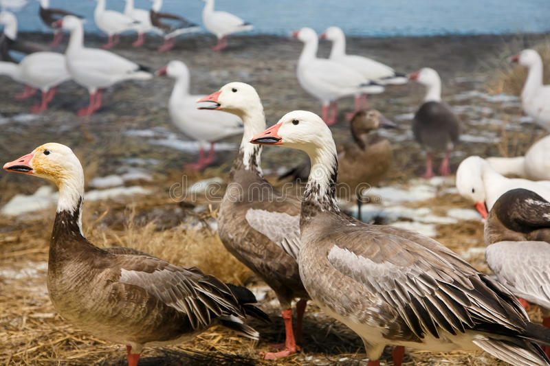 Geese on Shore of Lake stock images