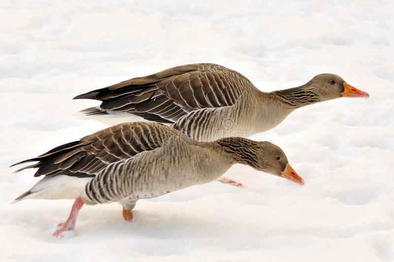 Geese in the snow stock photos