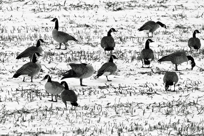 Geese in a snow covered field stock photo