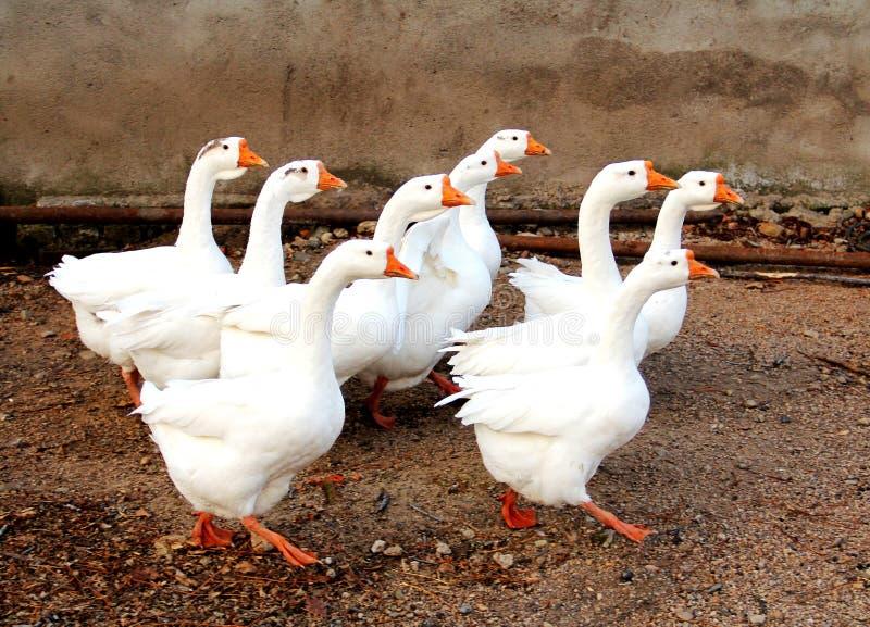 Goose; goosey; goosie royalty free stock photography