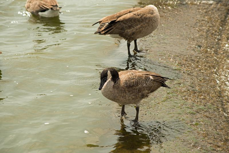 Geese on the spillway. Canada geese at the Pymatuning spillway reservoir in eastern Pennsylvavia stock images