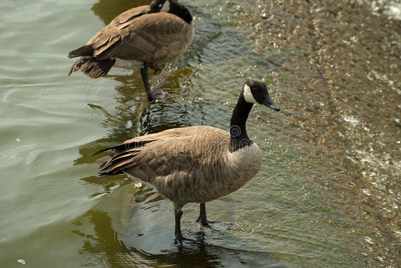 Geese on the spillway. Isolated Canada geese at the Pymatuning spillway reservoir in eastern Pennsylvavia stock photo