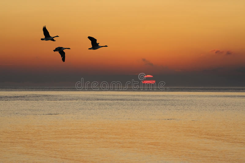 Geese at Sunrise. Three Canada Geese flying over water at sunrise