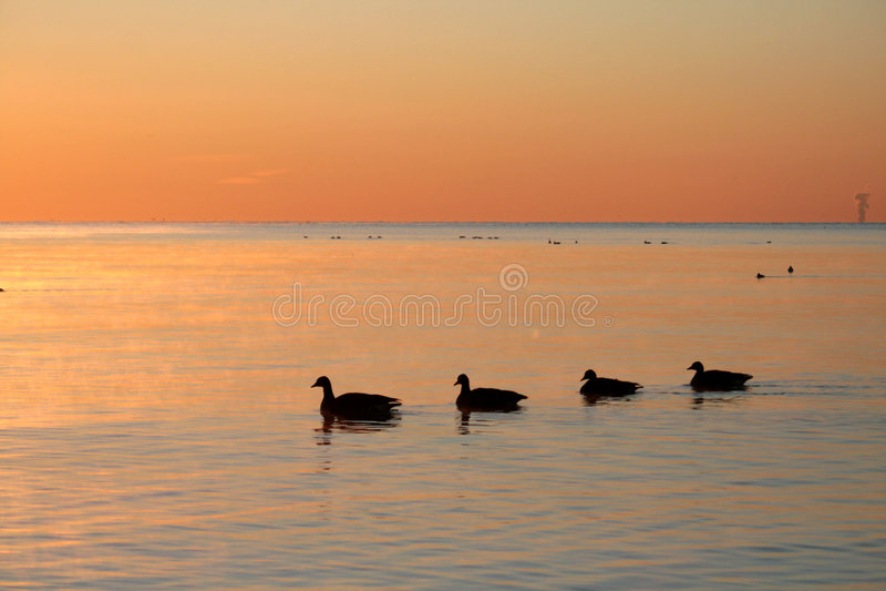 Geese on Sunrise stock photo