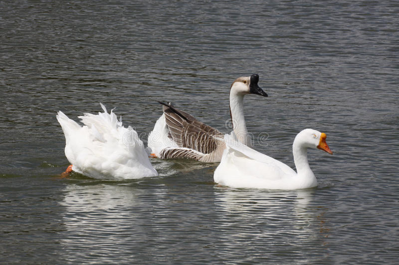 Geese. Swans gracefully wading in small pond before the migrating season begins stock images
