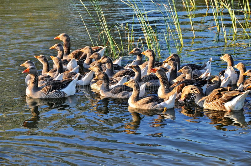 Gooses swimming in a lake royalty free stock photos