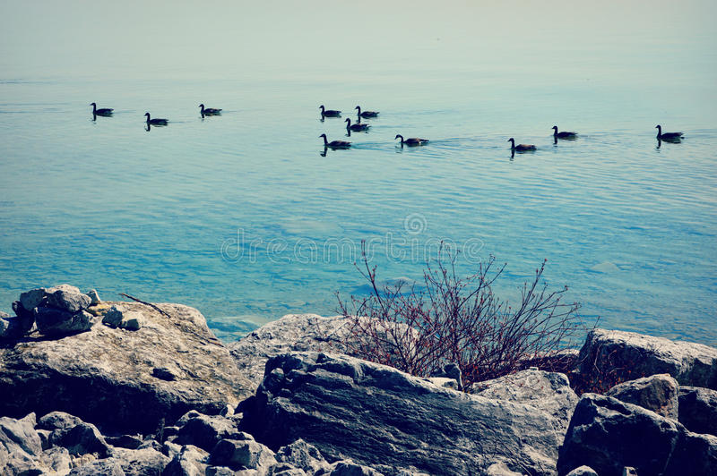 Geese Swimming On Lake Michigan. Ten geese swimming along the shore line of Mackinac Island on Lake Michigan in the Upper Peninsula with rocks in the foreground royalty free stock photo