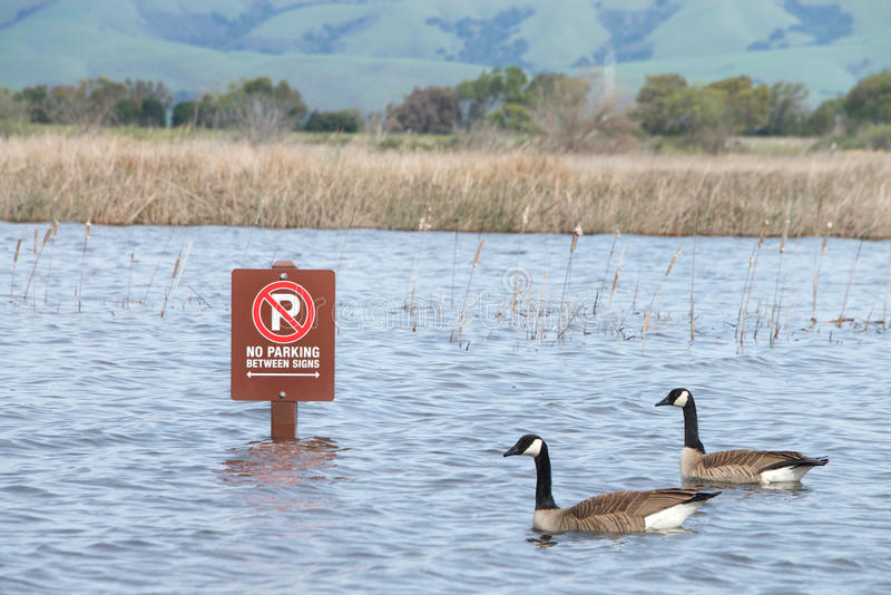 Geese swimming past sign in parking lot, flooded. Two Canada geese swimming past parking lot sign submerged in flood waters after recent torrential rain fall royalty free stock photo