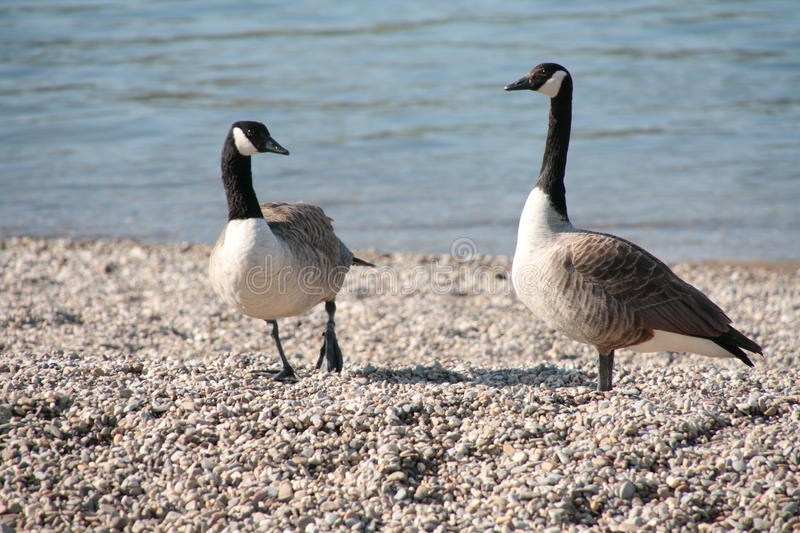 Canadian Geese near the River Rhine. Two animals near the Rhine, Mannheim, watching a ship royalty free stock image