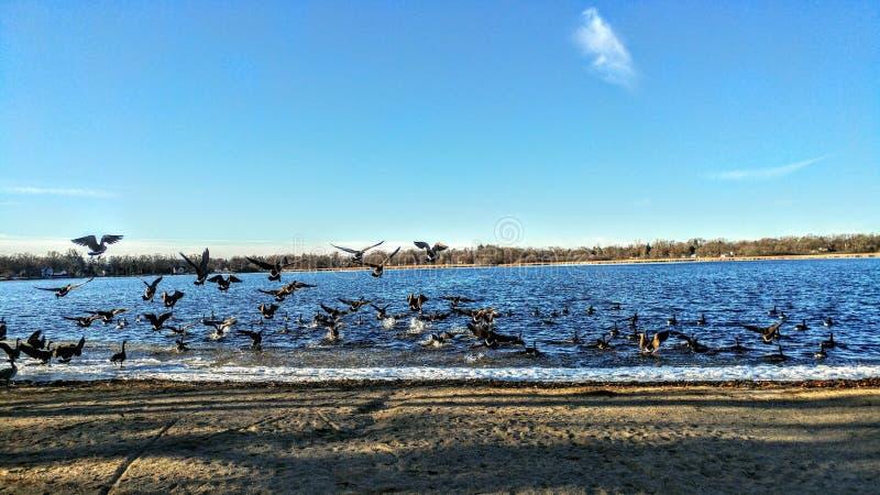 Geese Voando sobre o lago e Nadando imagem de stock
