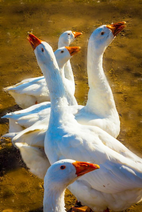 Geese on a walk on royalty free stock photo
