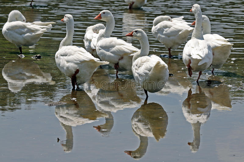 Download Geese in water stock image. Image of geese, tail, pond - 11112585