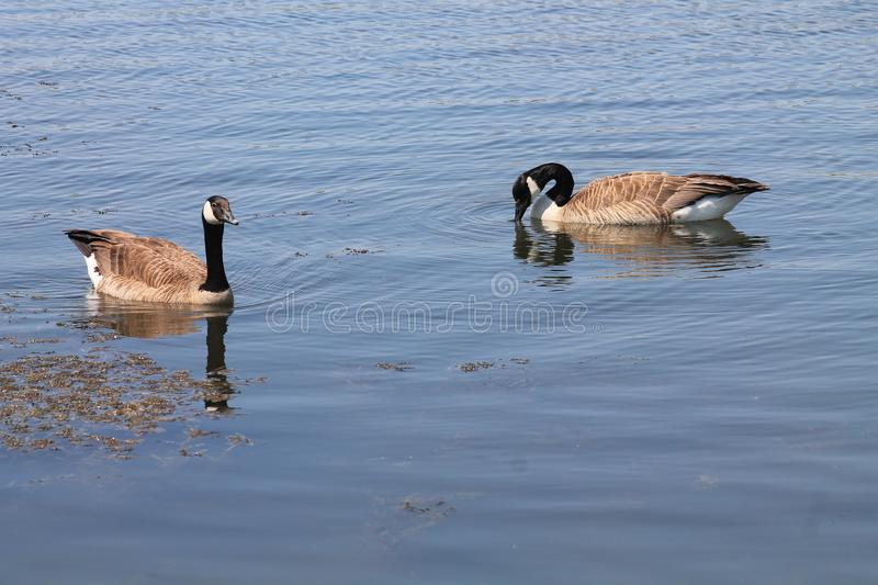 Geese on the Water stock photography