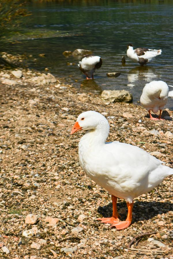 Geese on the water`s edge. stock image