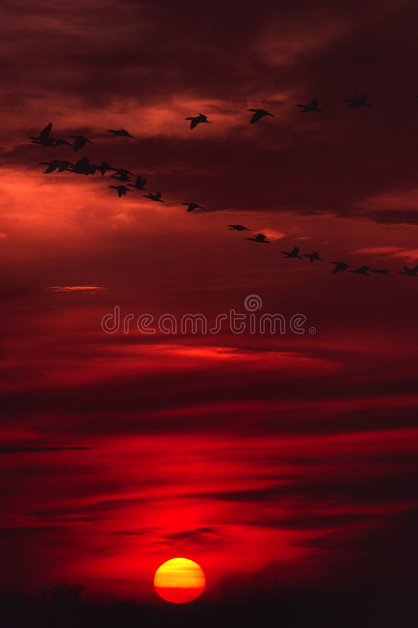 Geese on the wing royalty free stock images