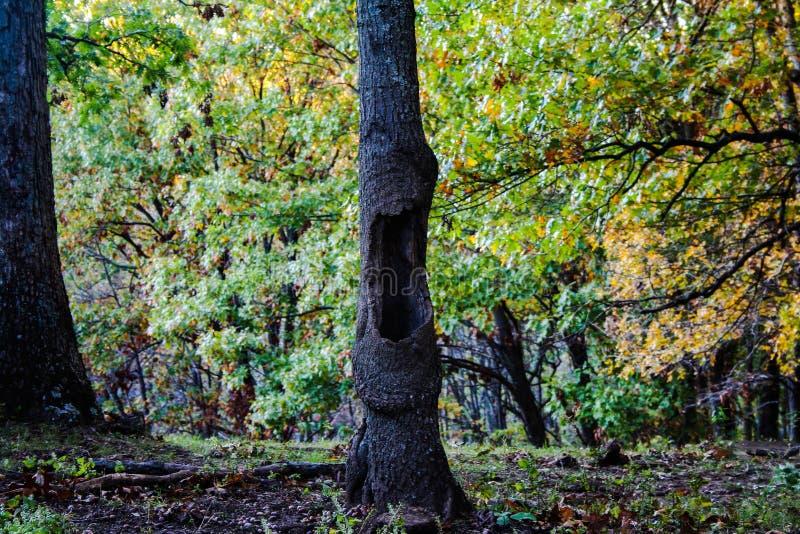 Geeuwboom stock afbeelding