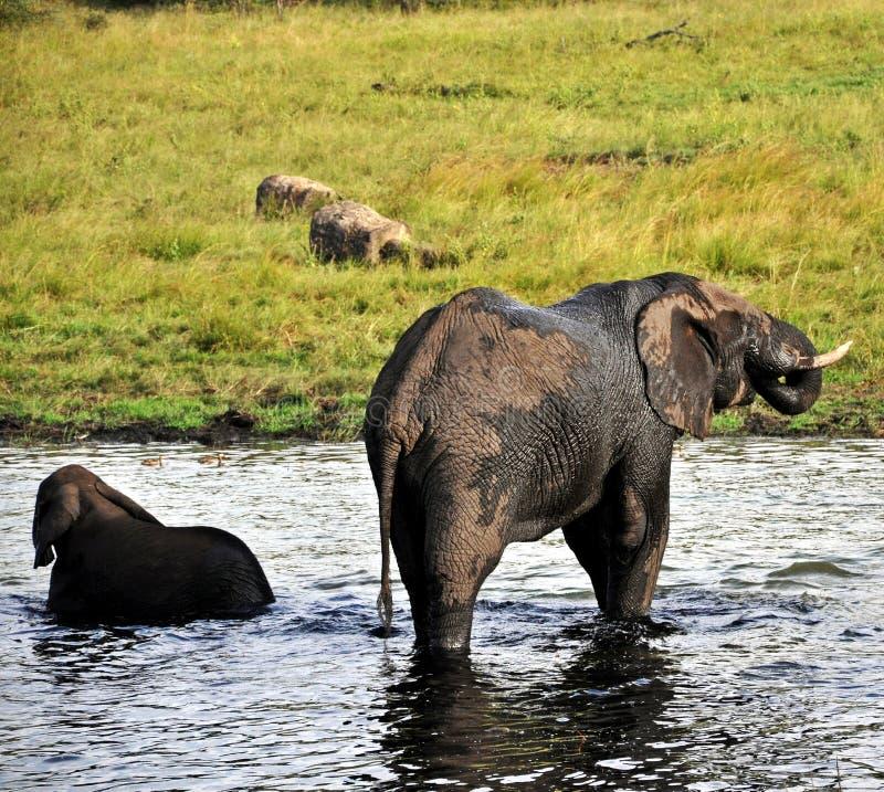 Gefährdete Elefant-Herden - Simbabwe stockfotografie