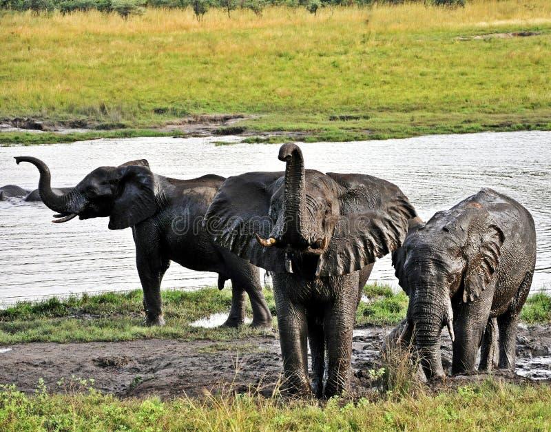 Gefährdete Elefant-Herden - Simbabwe stockbilder