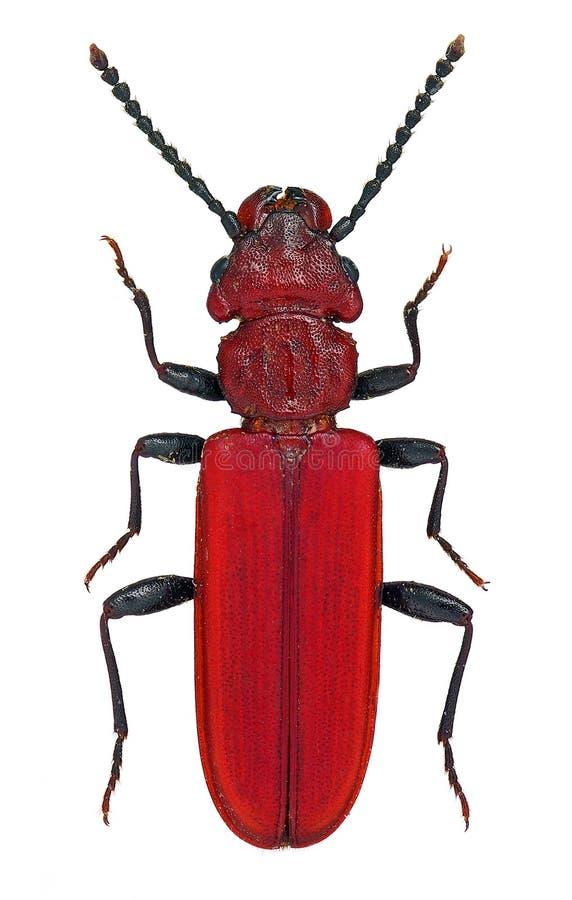 Gefährdete europäische Käfer Cucujus-haematodes lizenzfreie stockbilder