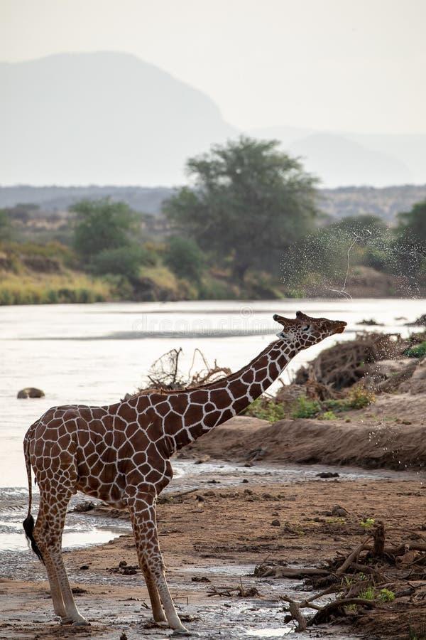 Gefährdete retikulierte Giraffe in dem Fluss in Kenia, Afrika lizenzfreie stockbilder