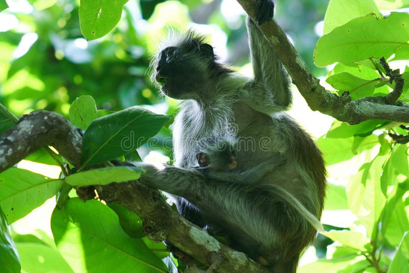 gefährdeter roter Colobusaffe Piliocolobus, Procolobus-kirkii Mutter mit Baby in den Bäumen von Jozani-Wald, Sansibar lizenzfreies stockfoto