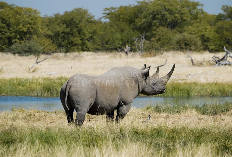 Gefährdetes afrikanisches schwarzes Nashorn stockfotografie