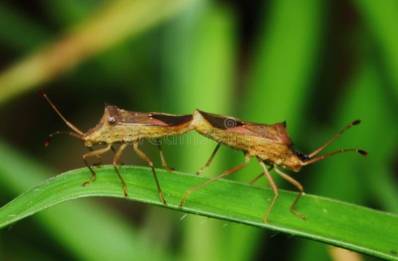 Gefährlich für Pflanzeninsekten ? Stinkbug für Hintergrund lizenzfreies stockbild