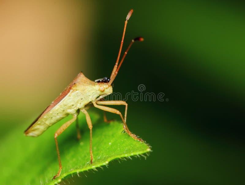 Gefährlich für Pflanzeninsekten ? Stinkbug für Hintergrund stockfotos