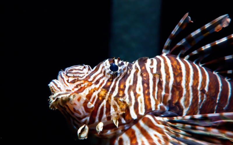 Gefährlich und venomus Lion Fish lizenzfreie stockfotos