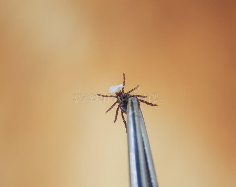 Gefährliche ansteckende Insektenmilbe wurde mit einem Metallwerkzeug mit Pinzette vom Pelz einer roten Katze mit einem Stück Ha lizenzfreie stockfotografie