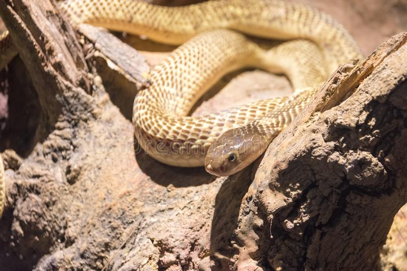 Gefährliche wilde Schlange stockfotografie