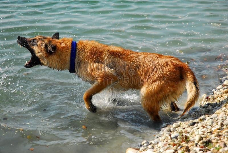 Gefährlicher belgischer Schäferhund lizenzfreie stockbilder