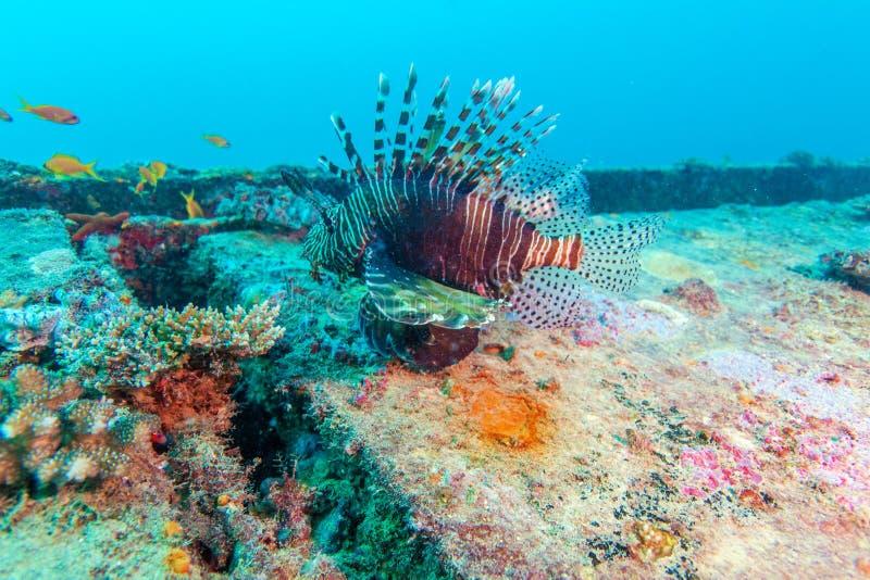 Gefährlicher Lion Fish nahe Schiffbruch lizenzfreies stockbild