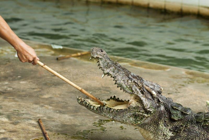 Gefährliches Krokodil lizenzfreie stockfotos