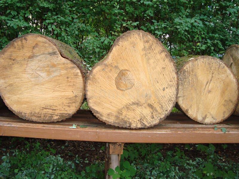 Gefällter Kastanienbaum Querschnitt Nahaufnahme lizenzfreie stockbilder