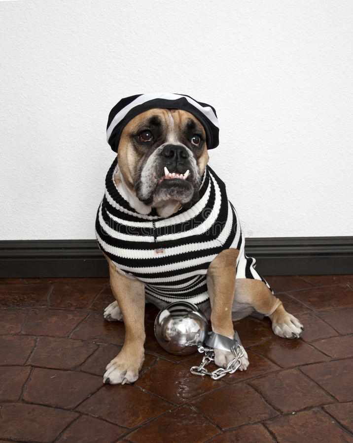 Gefängnis-Vogel-Bulldogge stockfoto