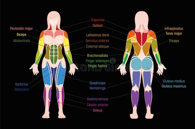 Gefärbte der Muskel-Diagramm-weibliche Körper mischt Schwarzes mit lizenzfreie abbildung